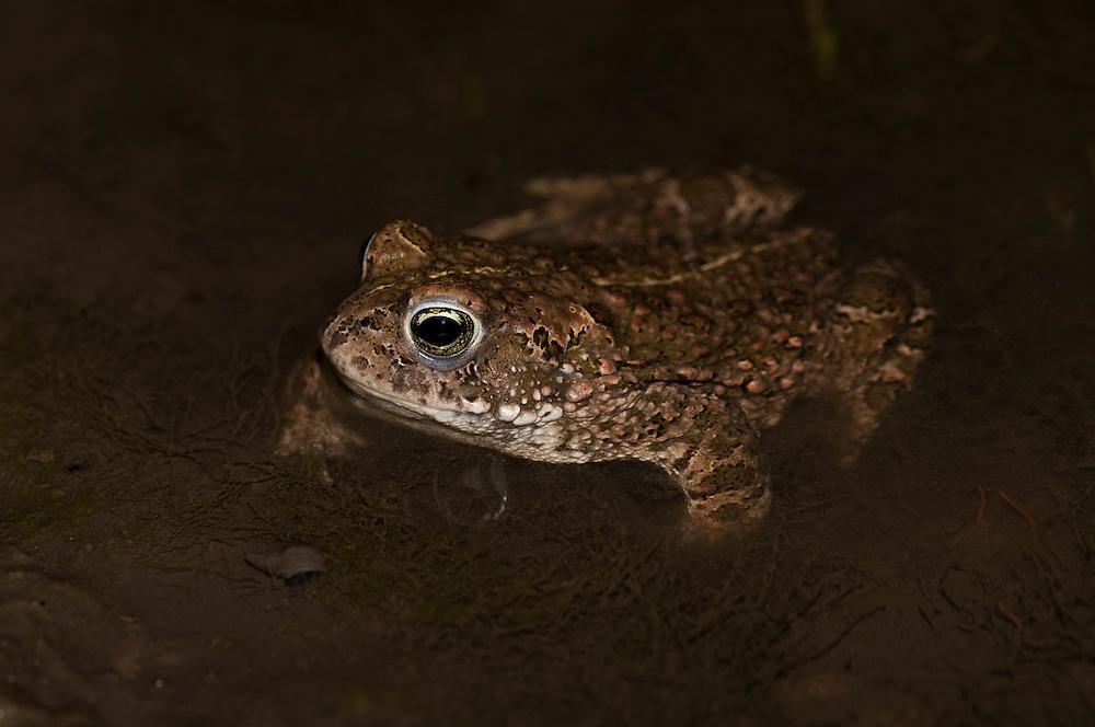 Natterjack toad (Bufo calamita), strandpadda; stinkpadda<br /> Location: Revingefältet, Skåne, Sweden