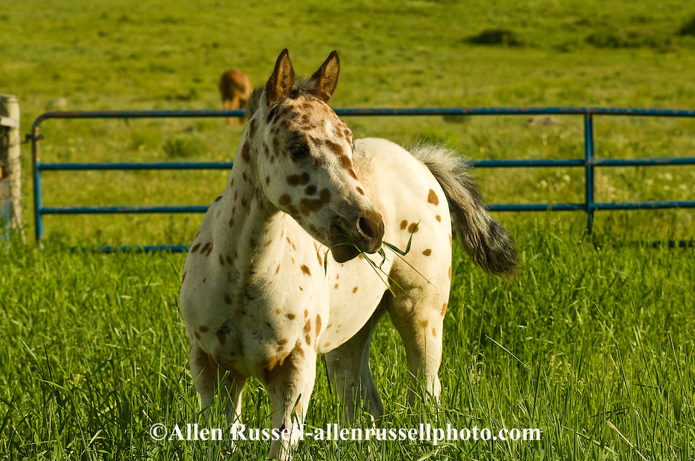 Leopard  Appaloosa, colt, <br /> PROPERTY RELEASED
