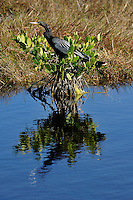 Anhinga Sunning at Merritt Island National Wildlife Reserve. Image taken with an Nikon D3x and 300  mm  f/2.8 VR lens (ISO 125, 300 mm, f/8, 1/250 sec).