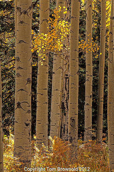 Aspens forest changing color . San Francisco Peaks