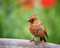 Junior Northern Cardinal. Image taken with a Nikon D5 camera and 600 mm VR lens