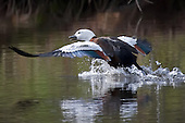 Paradise Shelduck Pictures - Photos