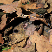 Wood mouse Apodemus sylvaticus UK