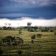 Brume dans les castanheiras du Para. Un des plus grand arbre d'Amazonie.   Neblinha nas castanheiras. Os maiores arboles da région.