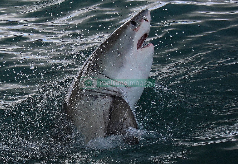 "EXCLUSIVE: Great white sharks have mysteriously vanished from one of their most popular hunting grounds in South Africa leaving tourism bosses baffled as to what has driven away one of their biggest money spinners. Theories include a fear of Orca's who have been targeting the apex predators tearing them open to eat their fatty livers as well as pollution, climate change and over fishing of much of the great whites natural prey. Between 2010 and 2016 shark spotters recorded an average of 205 great white sightings a year in False Bay which is a 600 square mile section of the Atlantic Ocean near tourist hot spot Cape Town. In 2018 they were only 50 sightings of the deadly predators made famous by the Hollywood blockbuster Jaws and so far this year not a single one of the much-feared great white shark has been spotted. And it has been two years since the Shark Spotters Applied Research Programme has picked up a signal from any of the great white's that had been tagged by scientists and were resident in False Bay. This comes after 5 great white sharks were washed up along the South African coastline in 2017 with gaping wounds on their side with their livers having been bitten out by two killer whales in the area. The killer whales bite a large slit in the side of the great whites after attacking as a pair and then suck out the fatty liver which is 600lb meat delicacy in a phenomenon that has only recently been discovered. The two Orca's responsible – known as Port and Starboard as their dorsal fins hang to the left on one and to the right on the other – spurned their natural prey like seals having developed a taste for shark. The great whites population in False Bay sea to be taking no chances and have moved to new hunting grounds away from Seal Island but it is hoped that they will in time return to their usual hunting ground. The City of Cape Town said: ""Great white sharks have been noticeably absent from False Bay during 2019 prompting questions as to when t"