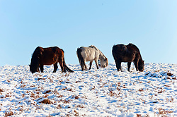 © Licensed to London News Pictures. 27/02/2020.  Builth Wells, Powys, Wales, UK.  Welsh mountain ponies forage for gras in a bleak wintry landscape on the Mynydd Epynt moorland after snow fell on high land last night in Powys, Wales, UK. Photo credit: Graham M. Lawrence/LNP