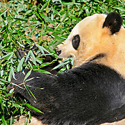 Panda at the Smithsonian Institution's National Zoo, Washington DC