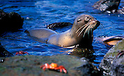ECUADOR, GALAPAGOS ISLANDS juvenile sea lion and Sally Light-foot crabs Zalophus californianus species