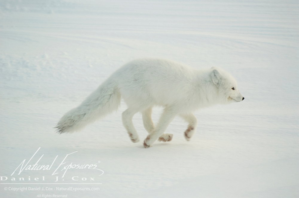 Arctic Fox running along Hudson Bay at Cape Churchill, near Churchill, Manitoba, Canada.