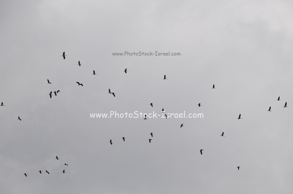 A flock of storks in flight over a landfill. Photographed near Metula, Northern Israel