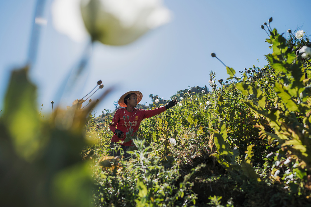 2017023 Shan state<br /> A worker is harvesting opium in the mountains of Shan State, Myanmar.<br /> Photo: Vilhelm Stokstad / Kontinent