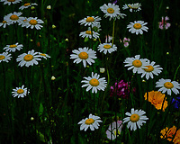 Daisy. Image taken with a Fuji X-T3 camera and 80 mm f/2.8 OIS macro lens
