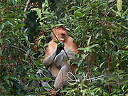 A proboscis monkey on a branch in Tanjung Puting on the island of Borneo, Indonesia.