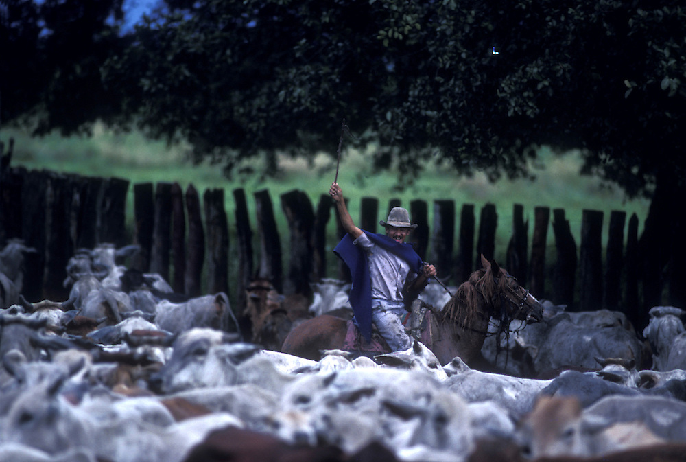 Venezuela, Apure State, Llaneros cowboy drives cattle herd into muddy corral at ranch on Llanos Plains