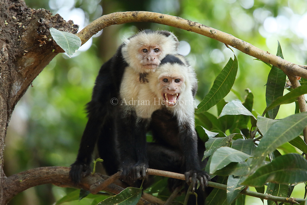 White-faced capuchin monkeys (cebus capucinus). Palo Verde National Park, Guanacaste, Costa Rica.