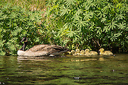 A Canada goose (Branta canadensis) with a clutch of goslings in the Metolius River, Oregon.