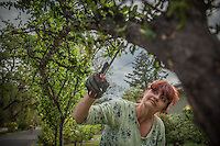 """This is a new job for me...I've spent most of the last eleven years under fluorescent lights...I love being outside...I love the dirt.""  -Landscaper and Calistoga resident Tammy McClain removes bugs from a plumb tree on Cedar Street in Calistoga, CA"