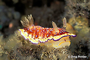 nudibranch, or sea slug, Chromodoris collingwoodi, feeding on hydroids, Tulamben, Bali, Indonesia