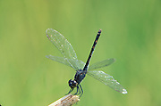 Saltmarsh Dragonfly, Seaside Dragonlet; Erthrodiplax berenice; obelisk position; thermoregulating; NJ
