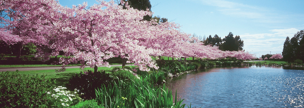 Panoramic view of a garden with blossoming cherry trees, near a pond.