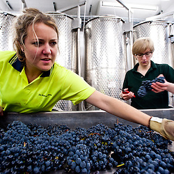 London, UK - 15 October 2013: grapes are hand sorted to ensure that all bad bunches, rotten berries and leaves are removed before the destemming process at the new London Cru, the first urban winery in London.