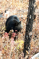 An American Black Bear feeds in the fallen old burnt pine trees.