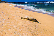 Endangered Hawaiian monk seals (Monachus schauinslandi) on Miloli'i Beach, Na Pali Coast, Island of Kauai, Hawaii USA