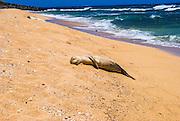 Endangered Hawaiian monk seals (Monachus schauinslandi) on Miloli'i Beach, Na Pali Coast, Island of Kauai, Hawaii USA