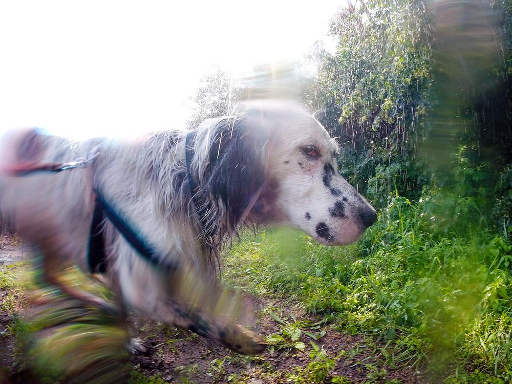 """English Setter """"Rudy"""" am 08.06.2018 beim abkühlen unter einer Bewässerungsanlage im Feld von Lysa nad Labem, (Tschechische Republik).  Rudy wurde Anfang Januar 2017 geboren."""