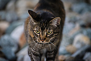 A tabby cat outside on softly blurred rocks.