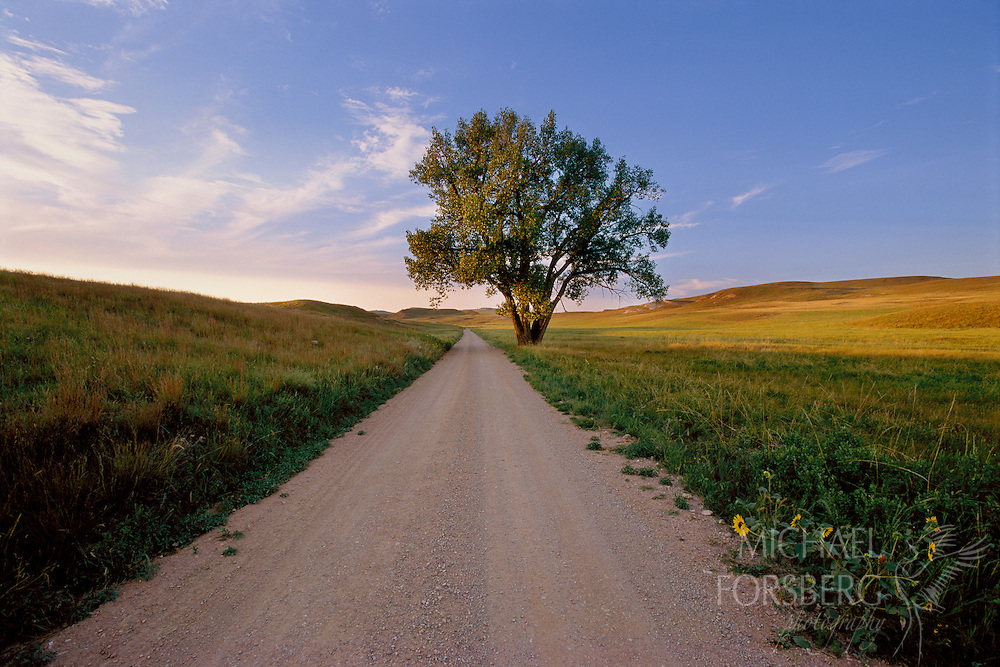 Country road and cottonwood tree. Wind Cave National Park, South Dakota.