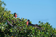Frigatebird of the coast of Belize. They have long wings, tails, and bills and the males have a red gular pouch that is inflated during the breeding season to attract a mate.