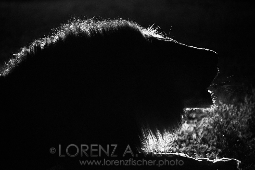Maennlicher Loewe (Panthera leo) aus dem Inyati Private Game Reserve im Westen des Krueger Nationalparks zu Beginn der Regenzeit im November bei Nacht