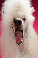 White Poodle close-up