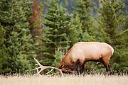 CANADA, Jasper National Park.Elk (Cervus elaphus) in rut season