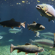 Trout in pools at Rainbow Springs  Rotorua, 10th December 2010,  New Zealand,, 2010 Photo Tim Clayton.
