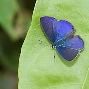 A Lycaenida butterfly of the Subfamily Polyommatinae, commonly reffered to as a blue.