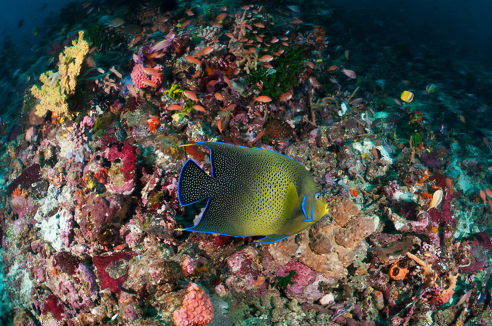 These angelfish are named for the fine markings found on the juveniles that is though to resemble Arabic script. The Komodo National Park is home to the unique Komodo Dragon, but also has some remarkable marine life.  Cold upwellings from the Indian Ocean to the south bring plenty of nutrients, providing food for a spectacular array of different species.
