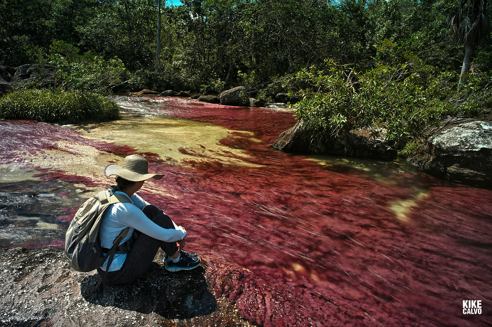 Colorful endemic freshwater red plants known as macarenia clavigera create colorful natural tapestries at the Red Tapestry section of the Cano Cristales river, commonly called the River of Five Colors or the Liquid Rainbow.