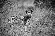 An African Wild Dog stares into the camera, full body shot, left of centre. Shallow depth of field.