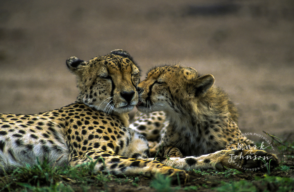 Cheetah mother licked by its cub, Kruger National Park, South Africa