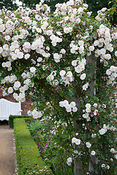Rosa 'Adelaide d'Orleans' growing on an arch in the rose garden at Mottisfont