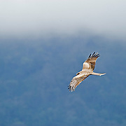 A Tawny Eagle (Aquila rapax) scans for prey high above Ngorngoro Crater, Ngorongoro National Park, Tanzania.