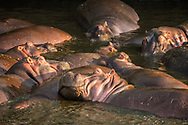 Hippos keeping cool, Serengeti, Tanzania