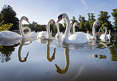 2020_07_13_Swan_Upping_Cancelled_PM