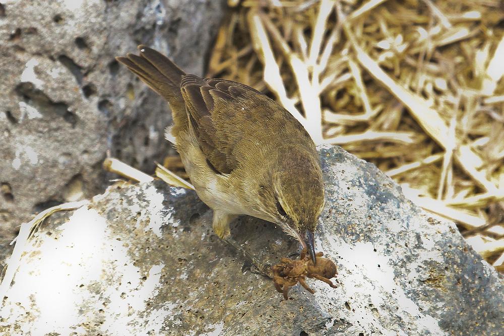 Nihoa Millerbird photo