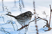 Song Sparrow - Melospiza melodia sitting on a branch with snow on its beak