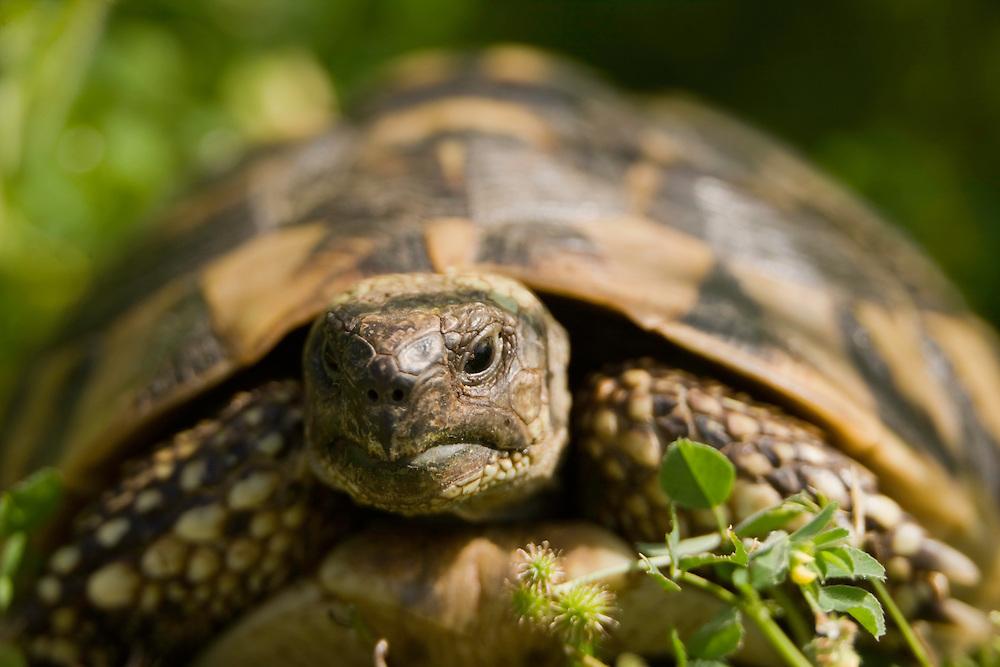 Hermann's tortoise (Testudo hermanni hercegovinensis): this subspecies is also called dalmatian tortoise. Hills near Svitava Lake, Hutovo Blato Nature Park. Bosnia-Herzegovina. May 2009<br /> Elio della Ferrera / Wild Wonders of Europe