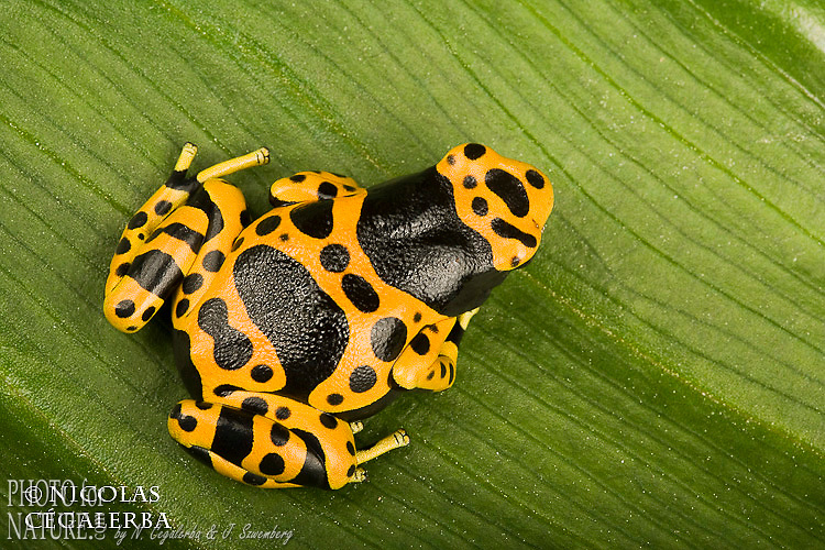 YELLOW-HEADED POISON FROG (Dendrobates leucomelas)