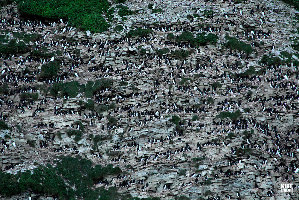 Akpatok Island, where thousands of thicked billed murres nest on the area. Baffin Bay.  Baffin Island. High Arctic. Canada<br />